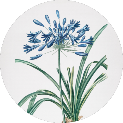 Vintage African Lily Botanical Illustration