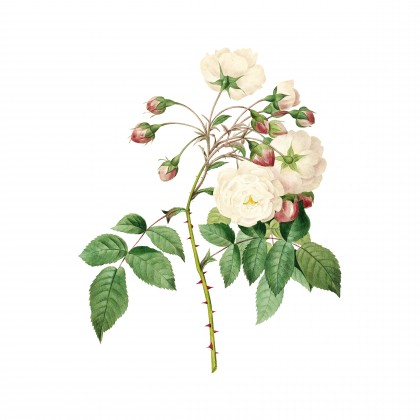 Vintage Adelia Aurelianensis Botanical Illustration