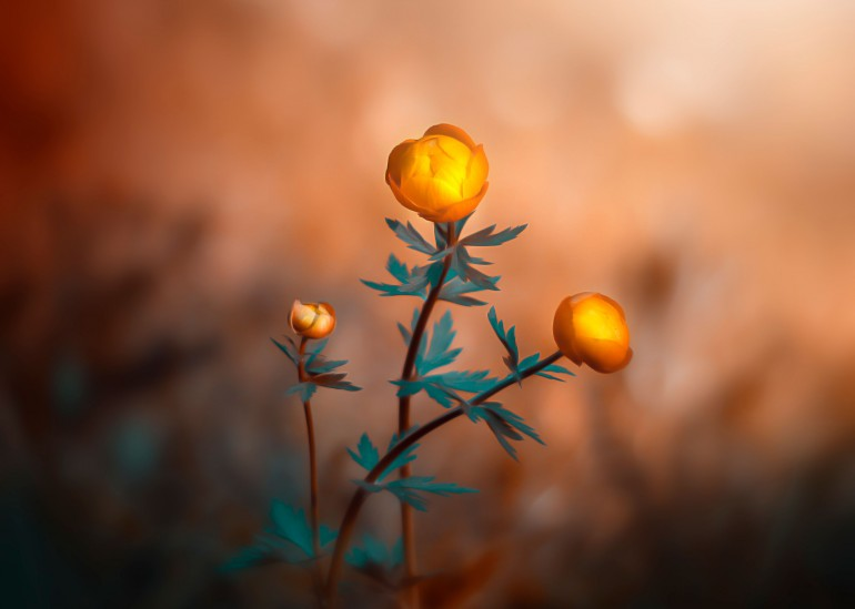 Globeflower, globeflower, trollblume, gelb, teal, orange, light